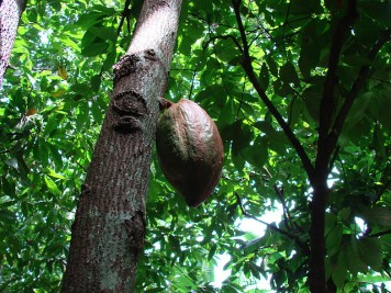 cacao_tree_5
