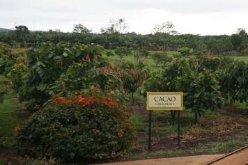 cacao_tree_6