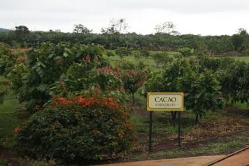 cacao_tree_6