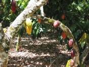 cacao_tree_photobylink